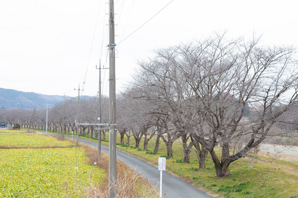 学校橋河原の桜